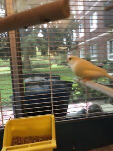 Orange and Yellow Canaries!