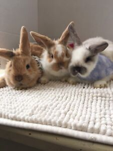 Gorgeous purebred Holland lops