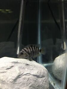 Female convict Cichlid