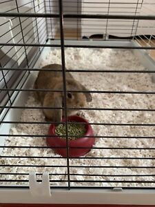Adorable Pure bred Holland Lop Bunny with cage