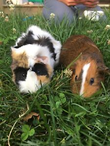 2 female Guinea Pigs with cage and accessories