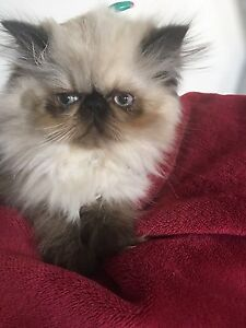 600$ special. Purebred Himalayan kitty