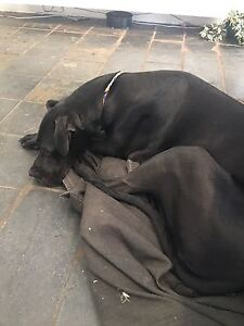 Great Dane friend to play with Armadale Stonnington Area Preview