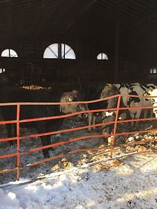 20 Taures holstein a vendre/20 holstein Heifers for sale
