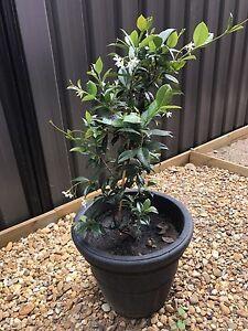 Star Jasmine plant Cranbourne East Casey Area Preview