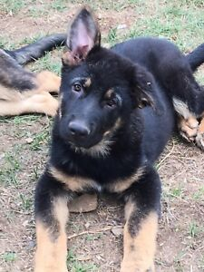 CKC Registered German Shepherd male puppy