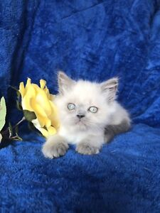 2 PURE BREED HIMALAYANS KITTENS AVAILABLE NOW