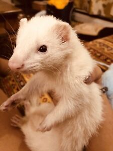Long haired silver tailed baby ferret