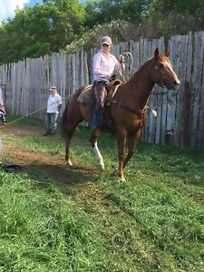 9 year old Quarter Horse Mare