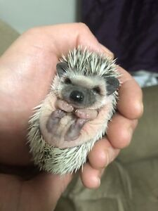 Baby hedgehogs available