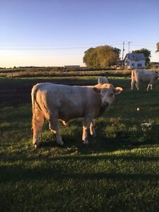 Young Charolais Bull for sale
