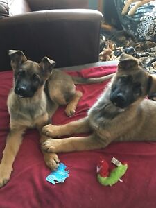 Gorgeous Red Sable German Shepherd puppies
