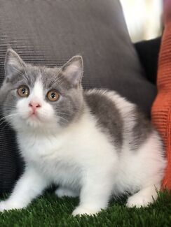 British shorthair blue bicolour boy ready now