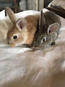 Flemish Giant Adopt Or Rehome Livestock In Ontario