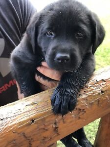 Black Lab Puppies!! Ready for their FOREVER HOMES!!
