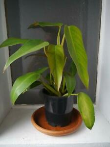 Beautiful Philodendron plant