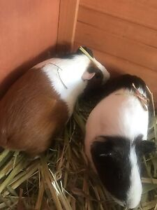 2x Guinea Pigs Including Cage Banjup Cockburn Area Preview