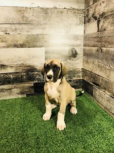 Great Dane Puppies (READY TO GO)