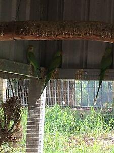 2 male green Indian ringnecks Carabooda Wanneroo Area Preview