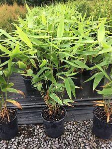 Tiger grass Mooloolah Valley Caloundra Area Preview