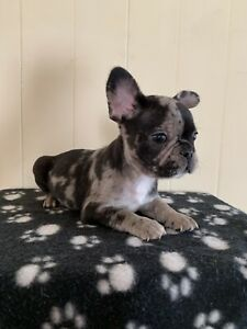 French bulldog puppies East Brisbane Brisbane South East Preview