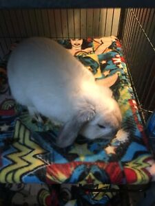 Male holland lop rabbit
