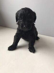 Poodle X puppies three available