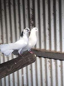 Fantail pigeons Wallarah Wyong Area Preview