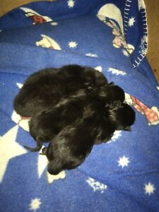 All male Half Bengal Kittens ( all black)