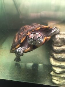 Female 1.5 year old Red Eared Slider