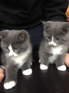 Adorable Himalayan / Ragdoll Kittens Looking For A New Home!