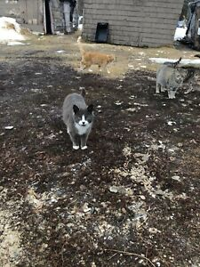 Operated barn cats looking for new home