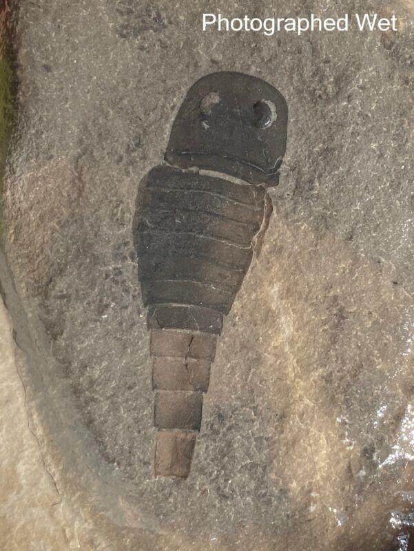 2 inch Silurian eurypterid from bertie fm, new york - eurypterus remipes
