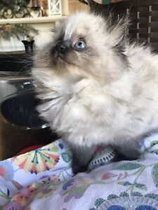 Ragdoll Himalayan Kittens.  Ready to go now!