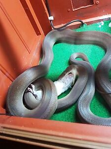 100% Het for Albino FEMALE Olive Python PRICE DROP! Kingsthorpe Toowoomba Surrounds Preview
