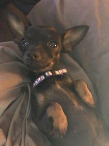 Petite chienne chiwawa