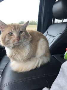 FOUND - male un-neutered ginger cat - no chip