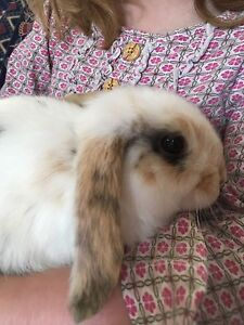 Beautiful pure bred dwarf lop rabbits Mount Barker Mount Barker Area Preview