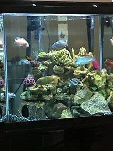 Cichlids show males 30 each 4 for 100