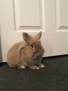Lionhead bunny FREE TO A GOOD HOME