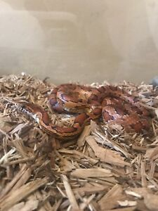 Selling my Corn Snake