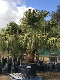 Established Palms