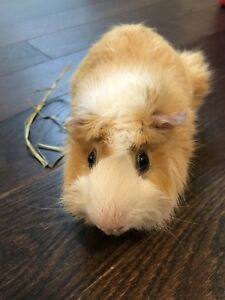 1 yr old male guinea pig