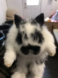Adorable mini lop bunnies