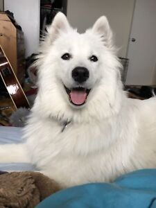 LOOKING FOR MALE SAMMY SAMOYED