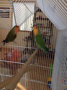 Oiseaux Inséparables