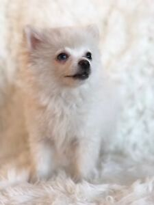 Beautiful Teacup Pomsky Puppies Available