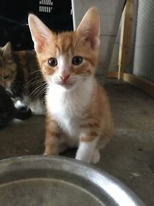 Rescue Kittens- Fully Vetted and Ready to go!
