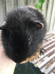 Rex pair guinea pigs for sale Eumemmerring Casey Area Preview