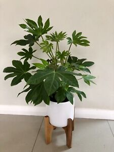 Indoor plant potted. $50 firm